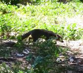 The Santa Cruz Island fox