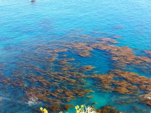 Kelp beds surrounding the Santa Cruz Island
