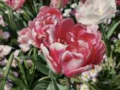 Butchart Gardens Flower