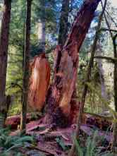 A broken tree from an old growth forests