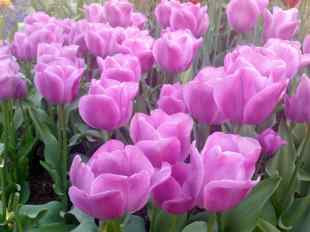 Pinkish Tulips in the Skagit Region