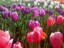 Pink, Purple and White Tulips in the Skagit Region