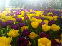 Tulips in Lakers Colors