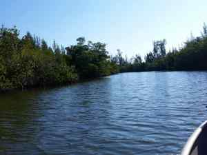 Searching for Manatees in the bushes along the islands in the Indian River